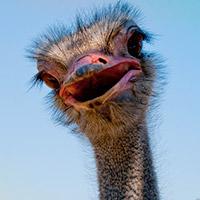 ostrich-200x200
